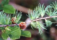 Larch tree with cone